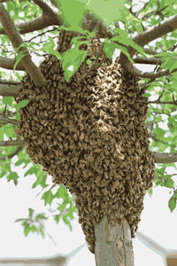 Honey Bee Swarm in crook of a tree.