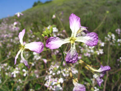 California wild radish. Photo courtesy: S. Hegde.