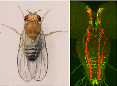 Image on the left shows a watercolor illustration of the fruit fly by Edith M. Wallace. Courtesy: Carnegie Institution (for permission to use the watercolor illustration of the fruit fly, please contact John Strom at jstrom@ciw.edu). Image on the right shows several groups of peptide neurons (red, green colored neurons) in the fly brain that regulate innate behavior. Image credit: Y-J. Kim, UCR.