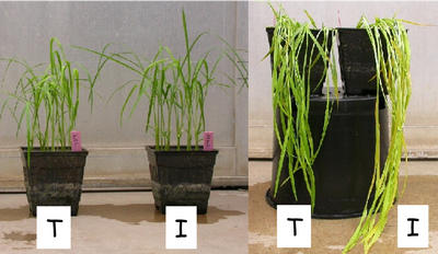 Photos of two rice lines that are genetically identical except<br />