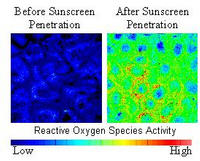 Two-photon fluorescence intensity images of cells deep in the epidermis showing reactive oxygen species activity following sunscreen application to the skin surface. Reactive oxygen species can react with cellular components, leading to skin damage and increasing the visible signs of aging. Credit: K. Hanson.