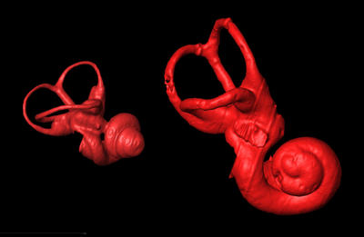 Primates with fast, agile locomotion have large semicircular canals. Here the computer reconstruction of the three semicircular canals and cochlea on the left is that of an active, leaping tarsier with a body mass of 123g.  The reconstruction on the right is that of the extinct lemur Palaeopropithecus that has a body mass of 45,000g.  This animal has been reconstructed to have behavior like that of a living sloth suspending itself from the trees and moving extremely slowly.  The semicircular canals and cochlea of these animals are shown here corrected for their body size. Image credit: Alan Walker lab, Penn State.