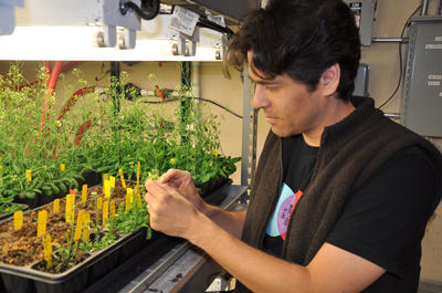 Sean Cutler, an assistant professor of plant cell biology at UC Riverside, examines an <i>Arabidopsis</i> plant.  Photo credit: UCR Strategic Communications.
