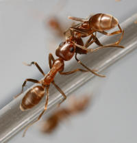 Argentine ant worker carrying a dead nestmate (necrophoresis). The rapid dissipation of compounds associated with live ants allows the latent necrophoric behavior to be triggered. Image credit: Dong-Hwan Choe, UC Riverside. (Additional image below.)
