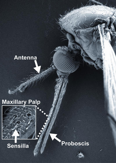 The olfactory organs of the malaria mosquito <i>Anopheles gambiae</i>. Carbon dioxide is detected in the maxilliary palp.  Image credit: S. Turner, Ray lab, UC Riverside.