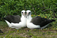 A female-female pair of Laysan Albatross.  Females cooperatively build nests and rear young when males are scarce.  Photo credit: Eric VanderWerf.