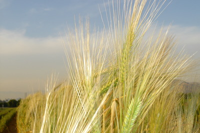 Barley spikes.  Photo credit: Close lab, UC Riverside.