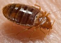 Bed bug. Photo Credit: Piotr Naskrecki.