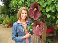 Jodie Holt, a professor of plant physiology at UC Riverside, checks out giant flowers of the Dutchman's pipe plant at the San Diego Botanic Garden.  Photo credit: San Diego Botanic Garden.  (More photos below.)