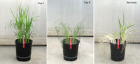 The images show rice plants treated with drought, followed by recovery.  Each image shows two kinds of rice plants.  The plants to the left of the red tape lack the Sub1A gene; the plants to the right of the red tape have Sub1A.  The image marked