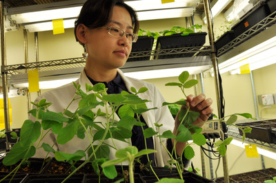 Wenbo Ma, an assistant professor of plant pathology and microbiology at UC Riverside, examines soybean plants in the lab.  Photo credit: UCR Strategic Communications.