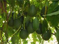'GEM' avocados on tree.  Photo credit: Arpaia lab, UC Riverside. (More photos below.)