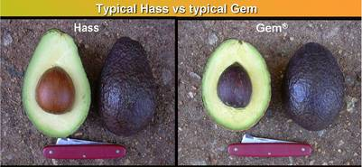 Comparison of the 'Hass' and 'GEM' avocado varieties.  Photo credit: Sylvie Kremer-Köhne, Westfalia.