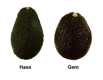 'Hass' avocado versus 'GEM' avocado.  Photo credit: Arpaia lab, UC Riverside.