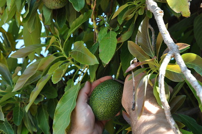 UCR researcher cuts a 'GEM' avocado from tree.  Photo credit: UCR Strategic Communications.