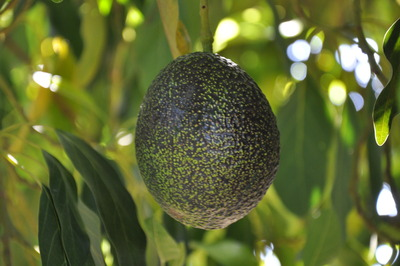 'GEM' avocado on a tree.  Photo credit: UCR Strategic Communications.