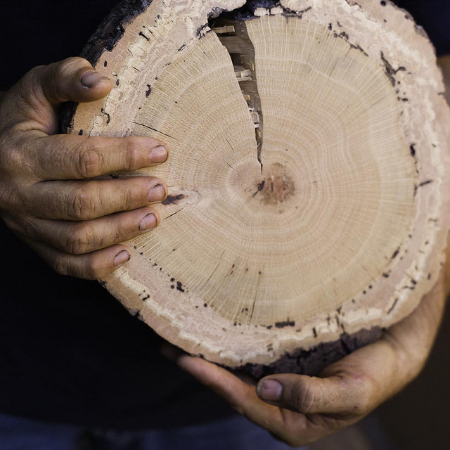A cross-section of an oak infested by the goldspotted oak borer shows the damage done by the non-native beetle.