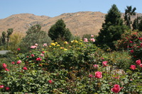 A view from the rose garden in the UC Riverside Botanic Garden