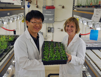UC Riverside graduate student Seung Cho Lee (left) and his advisor Julia Bailey-Serres seen in the lab with a tray of <i>Arabidopsis</i> plants.  <i>Arabidopsis</i> is a small flowering plant used widely by plant biologists as a model organism.  Photo credit: UCR Strategic Communications.