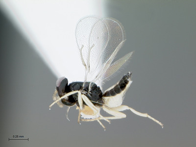A female Tamarixia radiata, highly magnified. The tiny parasitic wasp lays eggs in Asian citrus psyllid nymphs, eventually killing them. Photo credit: Mike Lewis, CISR, UC Riverside.