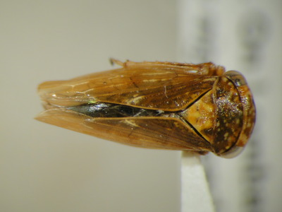 Image shows the leafhopper <i>Rhytidodus decimaquartus</i>.  Photo credit: Doug Yanega, UC Riverside Department of Entomology.