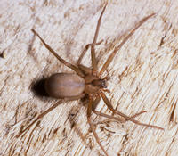 A brown recluse female from Missouri.  Photo credit: Rick Vetter, UC Riverside.  Another photograph is included at the end of the release.