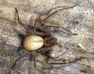 A brown recluse female from Missouri.  Photo credit: P. Kirk Visscher, UC Riverside.