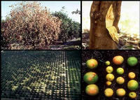 Effects of Citrus Tristeza Virus