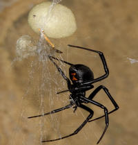 Female Black Widow spider and egg case<br />
