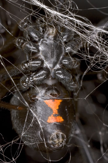 Female black widow spider (<i>Latrodectus hesperus</i>) with her dragline silk. Photo credit: Mark Chappell, UCR.