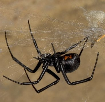 Female black widow spider (<i>Latrodectus hesperus</i>) walking on web made of dragline silk. Photo credit: Mark Chappell, UCR.