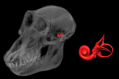 A computer reconstruction of an adult female baboon skull from high-resolution x-ray computed tomography (CT) slices.  The skull is rendered transparent to show the position of the three semicircular canals and cochlea of left inner ear filled in red.  The enlargement of the canals and cochlea is five times the size of the canals shown in the skull.  Each canal is approximately 5 mm in diameter. Image credit: Alan Walker lab, Penn State.