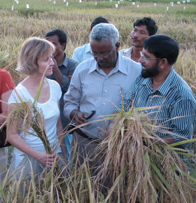 Foreground, left to right: Julia Bailey-Serres (UC Riverside), Abdel Ismail (IRRI, the Philippines) and M. A. Mazid, (Bangladesh Rice Research Institute, Regional Station) in Rangpur, Bangladesh.  The three researchers are seen harvesting a variety of Sub1 rice to be used by farmers next year.