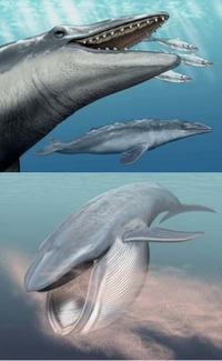 Extinct baleen whales, such as <i>Aetiocetus weltoni</i> (top; ~25 million years old) possessed teeth with enamel.  Living baleen whales (bottom) lack teeth and feed on minute organisms with their brush-like baleen filters.  Despite the absence of teeth, modern baleen whales retain copies of tooth-specific genes, such as enamelin, in their genomes; these unnecessary genes, which were inherited from toothed ancestors, show evidence of mutational decay, as predicted by evolutionary theory.  Paintings are by Carl Buell.  Copyrighted to John Gatesy and Carl Buell.