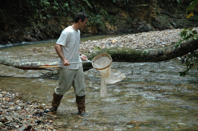 Biologist Ronald Bassar of UC Riverside hunts for guppies in a stream in Trinidad. Photo credit: Sonya Auer, UC Riverside.<br />