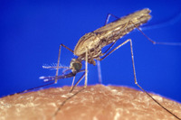 A malaria vector. Photo Credit: James Gathany