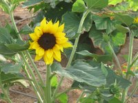 A sunflower growing in UCR's own Community Garden