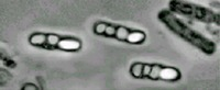 A photo of genetically engineered <i>Bacillus thuringiensis</i> cells constructed in the laboratory to combine mosquito-killing proteins from different bacterial species. These new recombinant strains are much more potent than natural bacteria that are capable of killing the mosquitoes that transmit malaria, filariasis, and many viral diseases to humans.  The bright oval structures are spores, and the angular gray structures to the left of the spores in each cell are crystals of the mosquito-killing proteins. Photo credit: Federici lab, UC Riverside.