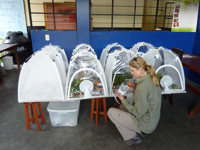 A rearing laboratory was set up at the SENASA facility in San Ramon, Junin Peru. Insects and their natural enemies were reared from avocado fruit for identification. Photo credit: Hoddle lab, UC Riverside.