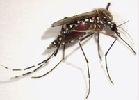 Photo shows a female <i>Aedes aegypti</i> mosquito with blocked <i>miR-275</i>; this mosquito is incapable of digesting blood and removing fluids, which results in a dramatically enlarged abdomen. Photo credit: Raikhel lab, UC Riverside. (More images below.)