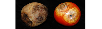 Potato (left) and tomato affected by late blight.  Photo credit: Amanda Gevens.