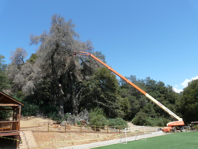 A massive coast live oak that succumbed to the goldspotted oak borer is removed near a home in Descanso.