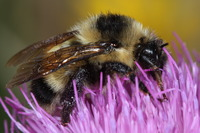 Cockerell's Bumblebee.  Photo credit: G. Ballmer, UC Riverside. (Another photo below.)