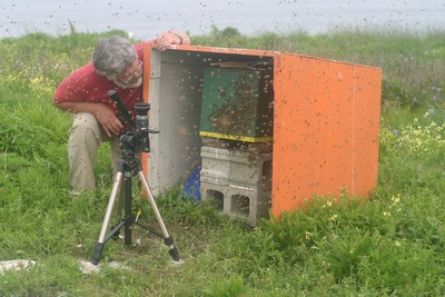 On a foggy day, Kirk Visscher examines honey bees settling on the nest box they have chosen and to which the swarm has flown.  The camera is recording the flight tracks of bees against the sky.  Photo credit: T. Seeley, Cornell University.