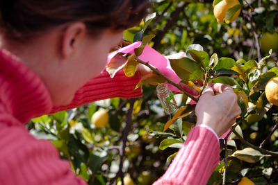 Clear glass vials containing 10-20 parasitoids each were attached to citrus branches with twist ties.  When the lid of a vial was removed, the parasitoids dispersed to look for Asian citrus psyllids to attack. Photo credit: Mike Lewis, CISR, UC Riverside.