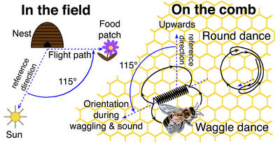 Diagram of the honeybee dance.  (Credit: P. Kirk Visscher.)