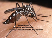 Photo of Aedes aegypti mosquito